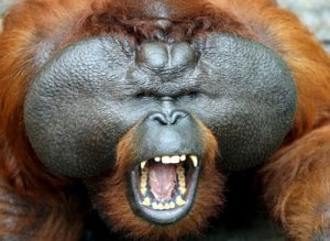 https://dzikuthedziko.files.wordpress.com/2012/03/orangutansumatra_orangutanexplore.jpg?w=300
